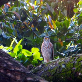 An accipiter and the debate around its identity