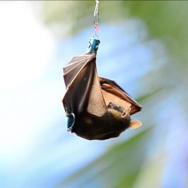 Bats in distress, trapped by abandon fishing hook