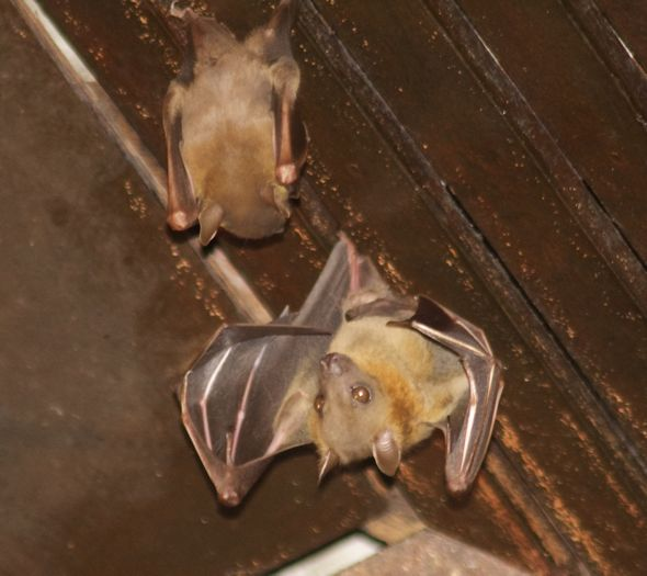 Bats in my porch: 20. When the female rejects the male