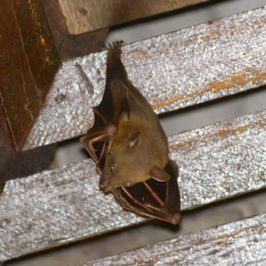 Bats in my porch: 13. Territory and Courtship