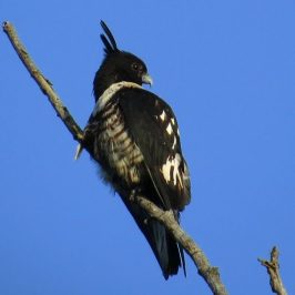 BLACK BAZA – PREENING and STRETCHING