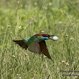 Blue-throated Bee-eater flying with an egg to a potential nesting site