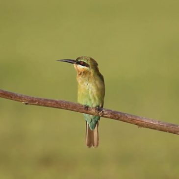 Blue-tailed Bee-eater calling