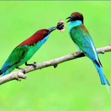 Blue-throated Bee-eater catches a butterfly and ignores another