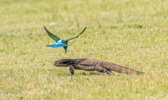Blue-throated Bee-eaters mobbing monitor lizard