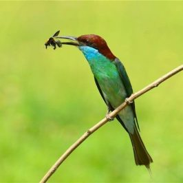 Blue-throated Bee-eater caught a bee