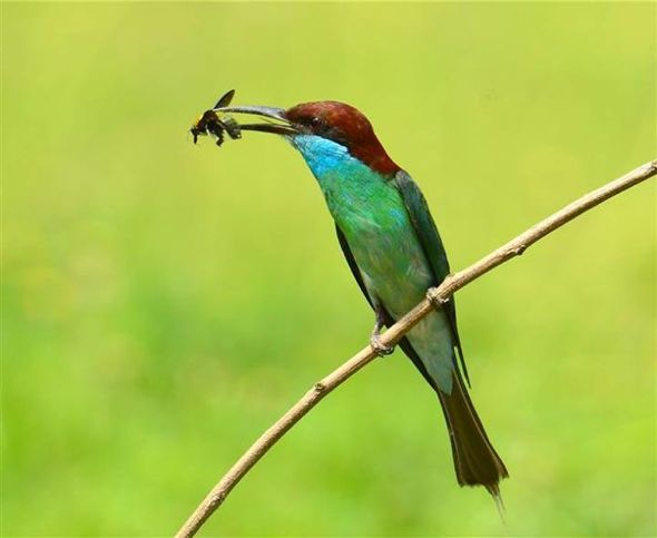 Blue Tailed Bee Eater Singapore Blue-throated Bee-eater Caught