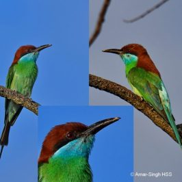 Blue-throated Bee-eater – adult with beak issues