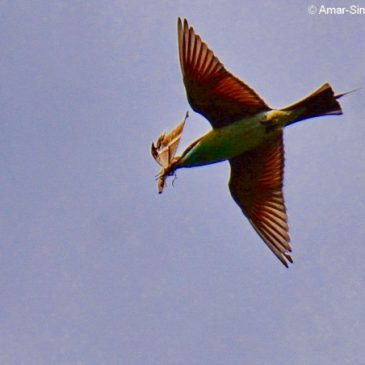 Blue-throated Bee-eater with butterfly prey