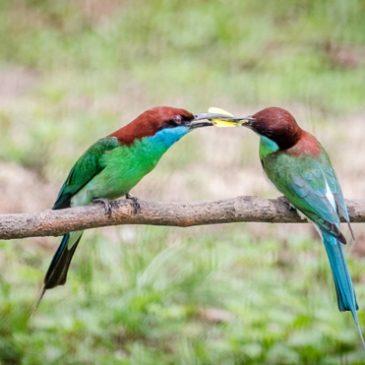 Courtship feeding prior to copulation