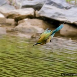 Bee-eater diving to take a bath?