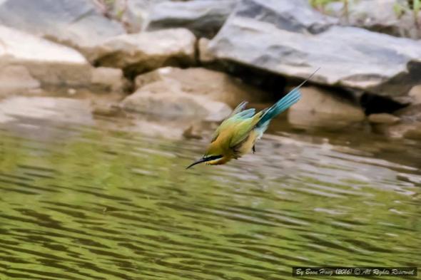 BeeEaterBlTl-diving [ChanBoonHong] 1