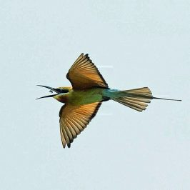 Blue-tailed Bee-eater on the wing