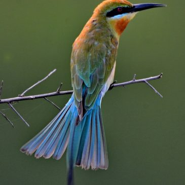 Tail-Wagging by Blue-tailed Bee-eater