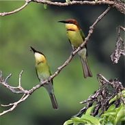 Adult Chestnut-headed Bee-eater feeding juvenile
