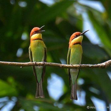 Chestnut-headed Bee-eater – conflict (social behaviour)