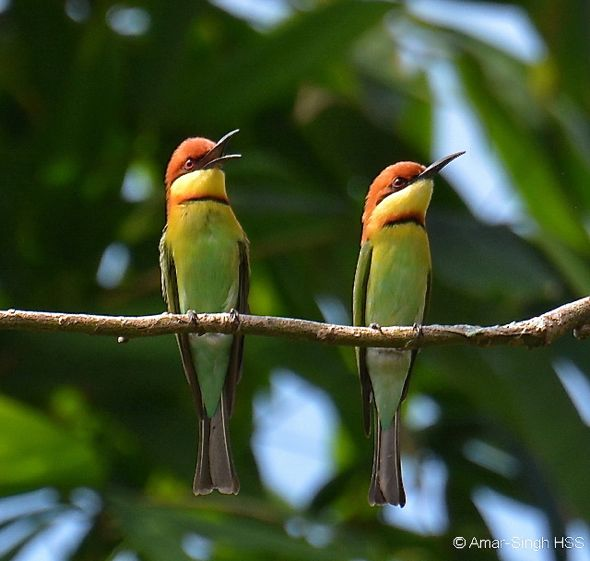 Chestnut-headed Bee-eater – conflict (social behaviour)