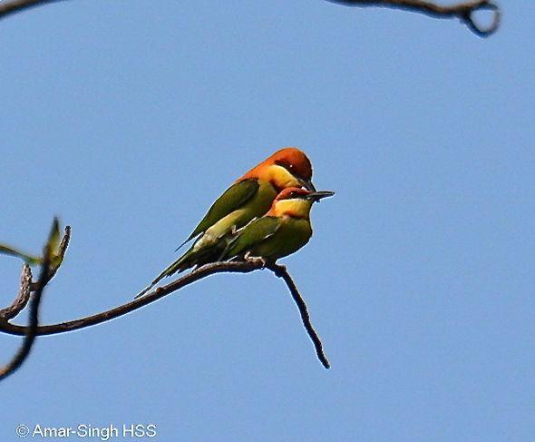 Chestnut-headed Bee-eater mating