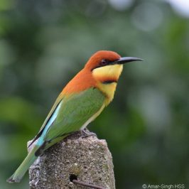 Chestnut-headed Bee-eater – nest building and cooperative breeding?