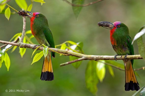 Red-bearded Bee-eater takes a cicada