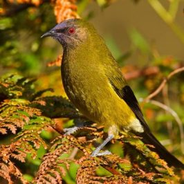 New Zealand Bellbird singing at Tiritiri Matangi Island