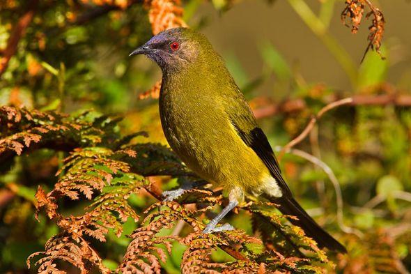 New Zealand Bellbird singing at Tiritiri Matangi Island