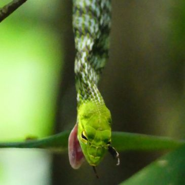 Bigeye Green Whip Snake: After swallowing Malesian Frog