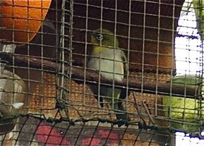 Trapping Oriental White-eye