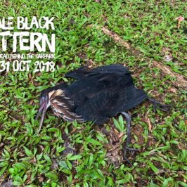 Black Bittern Found Dead at Commonwealth Secondary School