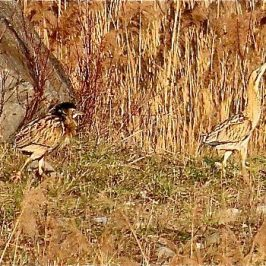 Courtship of a pair of Eurasian Bitterns