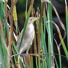 Yellow Bittern – nesting site