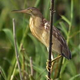 Breeding display of the Yellow Bittern