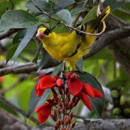 Black-naped Oriole  feeding on nectar