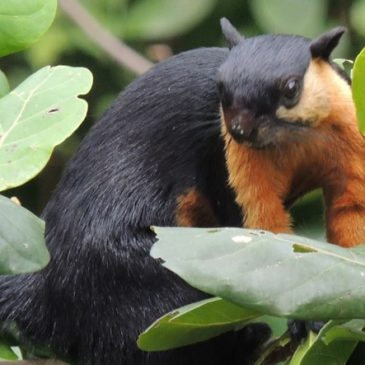 Black Giant Squirrel eating Sea Almond fruits