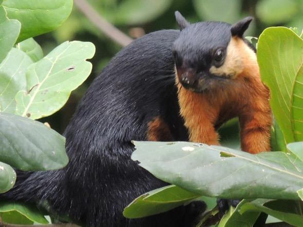 BlackGiantSquirrel-Terminalia fr [Steven Struyck]