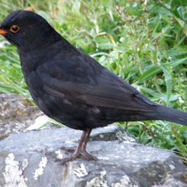Common Blackbird chirping merrily