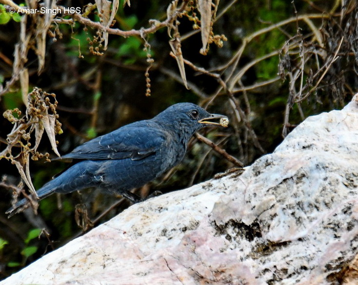 Blue Rock Thrush-2a-Ipoh, Perak, Malaysia-31st August 2017