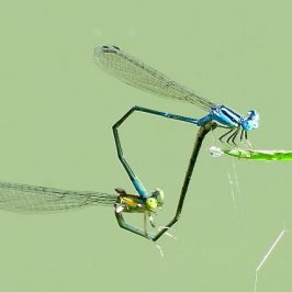 BLUE SPRITE MATING & OVIPOSITING