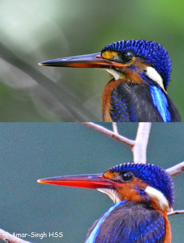 blue-eared-kingfisher-immature-male-vs-female-1a-tambun-ipoh-perak-malaysia-12th-september-2016