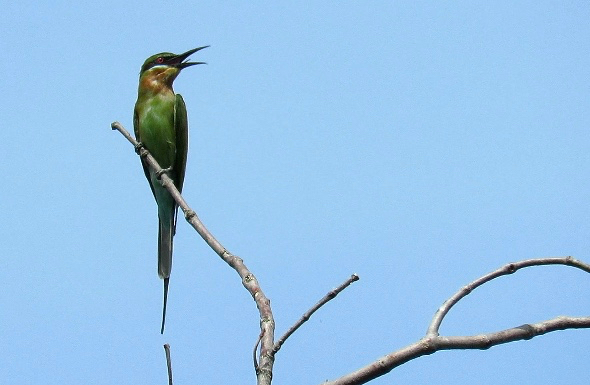 Blue-tailed Bee-eater feeding (Part 1)