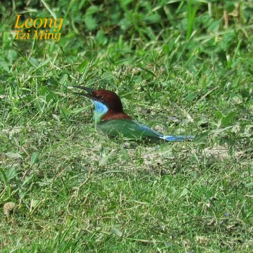 SHOVELLING SESSION OF BLUE-THROATED BEE-EATER