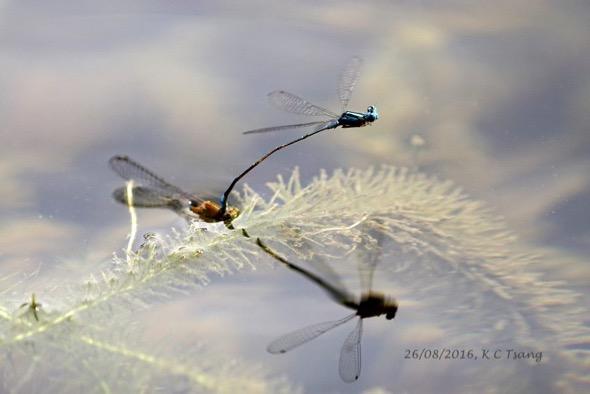BlueSprite-mating 2
