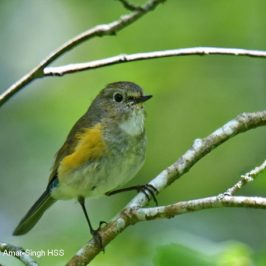 Red-flanked Bluetail – what is an adult?