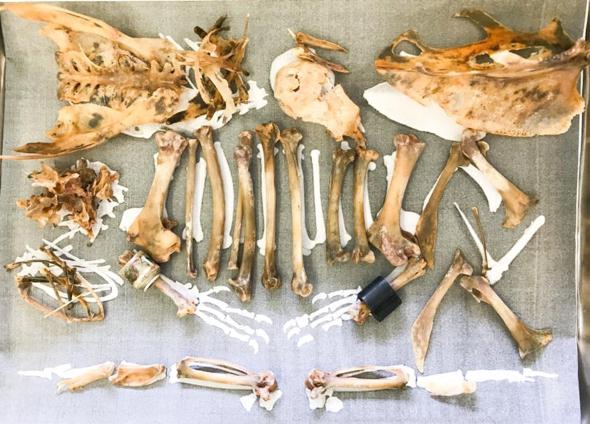 Bones-HomerPigeon unearthed [JacobTan]