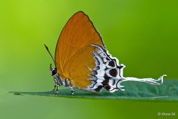 Save MacRitchie Forest: 13. Butterflies, jewels of the forest