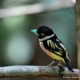 Black-and-yellow Broadbill of Sabah