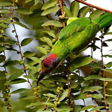 More on birds feeding on Bridelia tomentosa fruits
