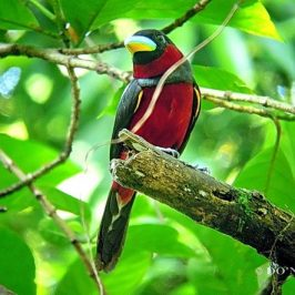 © Courting Behaviours of Black-and-Red Broadbill Pair