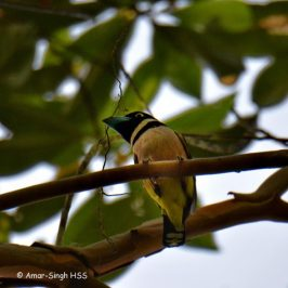Black-and-yellow Broadbill nesting