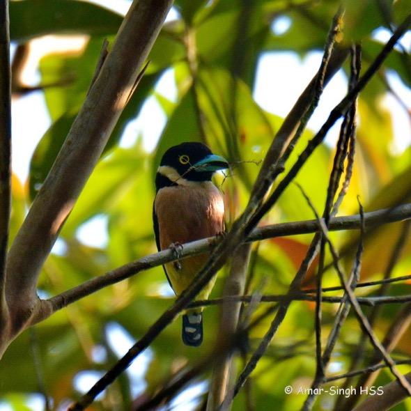 BroadbillBW-nesting [AmarSingh] 2